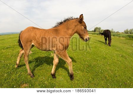 Brown foal on the green spring meadow