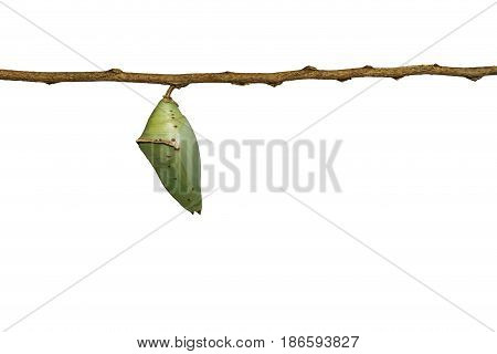 Isolated Chrysalis Of Common Archduke Buttterfly ( Lexias Pardalis Jadeitina )