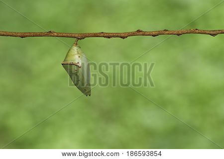 Chrysalis Of Common Archduke Buttterfly ( Lexias Pardalis Jadeitina )