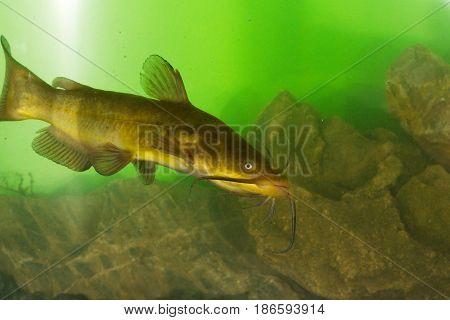 Black Bullhead Ictalurus melas catfish in the lake