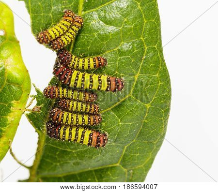 Chalcosiine Day-flying Moth Caterpillars (cyclosia Panthona)  On Their Host Plant Leaf