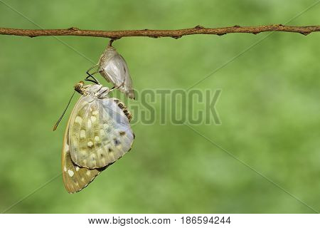 The Common Archduke Buttterfly Emerged  From Chrysalis ( Lexias Pardalis Jadeitina )