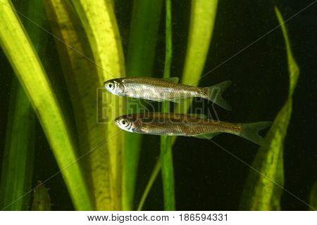 Two Common bleak Alburnus alburnus fish in the pond