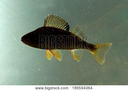 Shadow of European perch Perca fluviatilis fresh water fish
