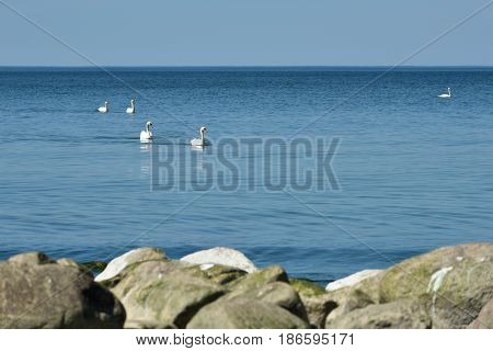 White swans in the blue Baltic sea water