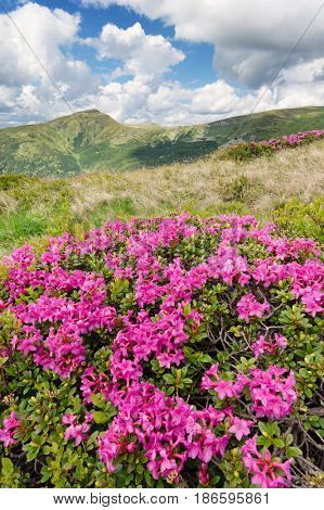 Summer landscape with flowers in the mountains. Bushes blooming rhododendron. Sunny day. Carpathians, Ukraine, Europe. Chornogora Range