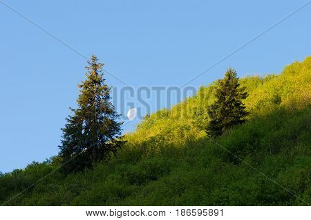 Moon is in a clear blue sky. Spruce trees on a mountain slope. Summer landscape with a juicy fresh greenery. Wild nature of Ukraine, Carpathians