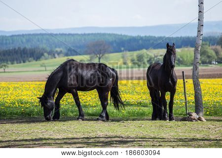 Frisian horses at spring meadow with dandelion flowers