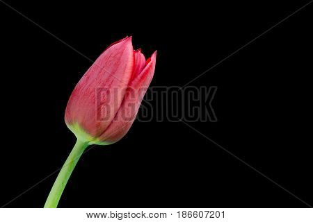 Red tulip on black background with copyspace
