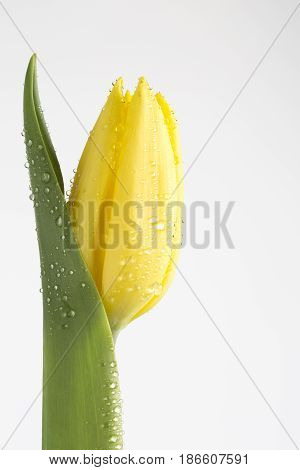 Yellow tulip with water droplets on white