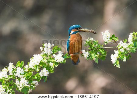 Kingfisher With Fish In Beak Perched On Blooming Branch.