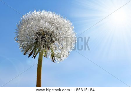 Dew drops on a dandelion flower.