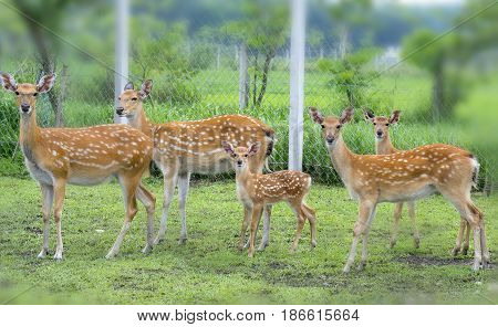 Deer grazing on a farm in the countryside, this is the animal that needs to be preserved in nature