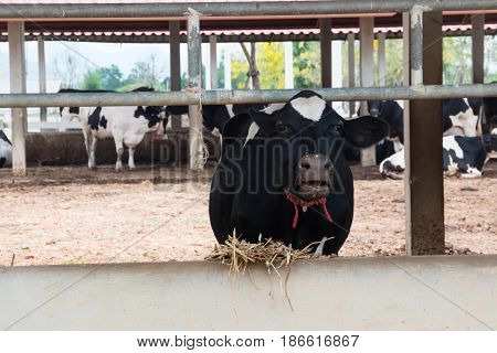 Black dairy cattle in Cow Thailand farm