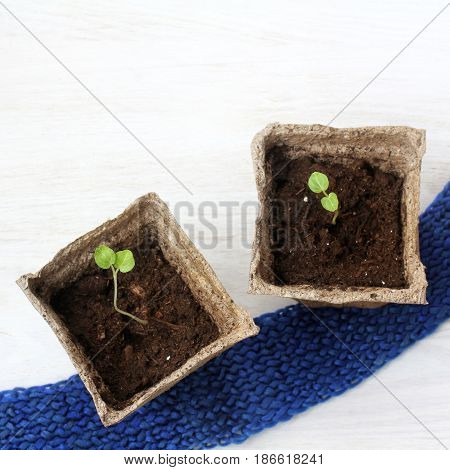 Young green shoots of sprouts in peat cups view from above / future crop
