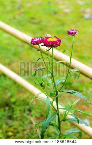 Helichrysum or Straw flower beautiful sweet background at coutryside Thailand