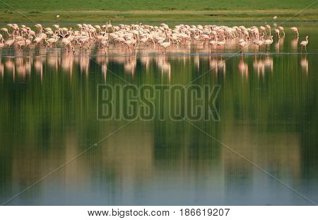 Long shot of group of flamingos at Lake on top of the image