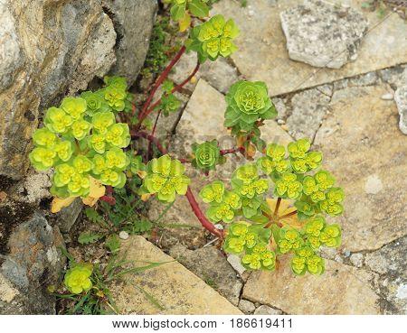 Euphorbia Helioscopia plant in the full blossom