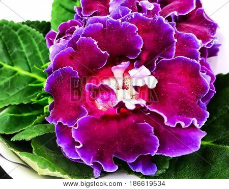 Decorum plant, purple Brazilian Gloxinia Sonata (Sinningia speciosa)