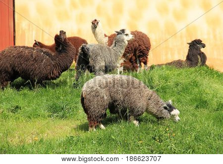 group of shaggy domestic llamas with long hair