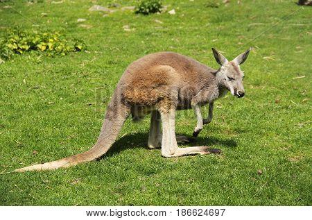 red kangaroo (Macropus rufus) on the green grass