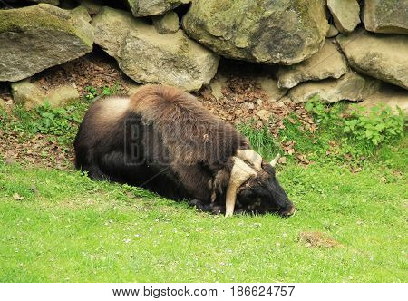 sleeping shaggy muskox (Ovibos moschatus) in ZOO