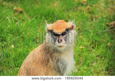 portrait of ginger patas monkey (Erythrocebus patas)