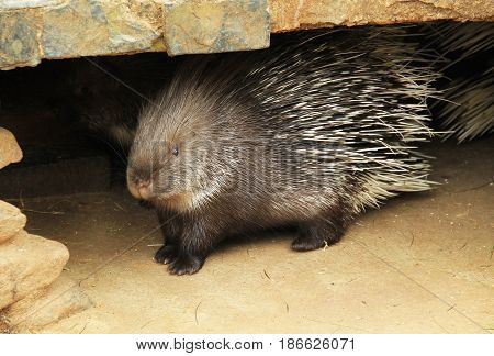 Indian crested porcupine (Hystrix indica) in the enclosure in ZOO