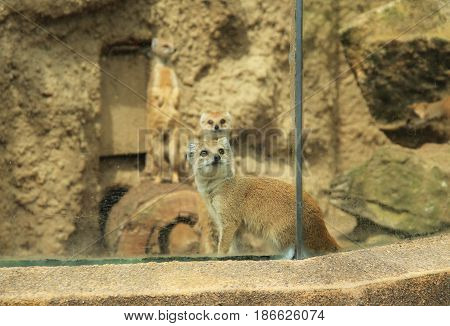 group of cute yellow mongooses (Cynictis penicillata) in their enclosure in ZOO
