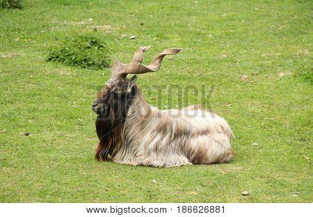 wild goat markhor (Capra falconeri) male with huge horns having rest