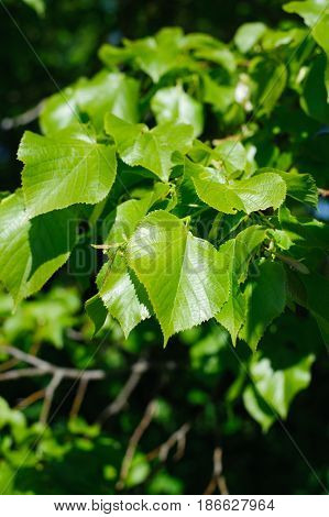 Young leaves of the lime tree (lat. Tilia) closeup