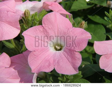 Blooming pale pink petunia flower blossom in a garden.