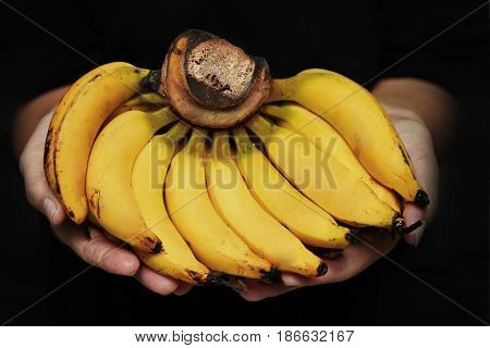 Ready Thai traditional fruit servedRipe Lady finger bananaSlim yellow bunch of bananascall Kluai Leb Mu Nang in Thai.
