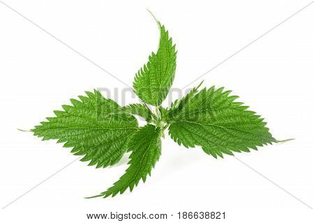 Stinging nettle isolated on a white background poster