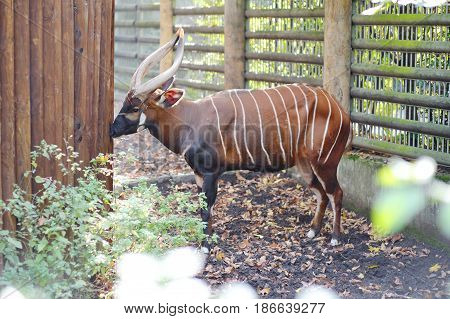 Bongo antelope animal with horns and stripes