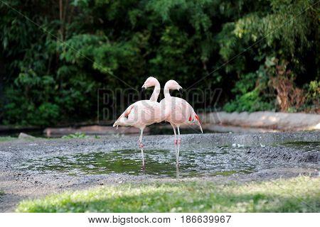 Beautiful pink flamingo bird in a pond