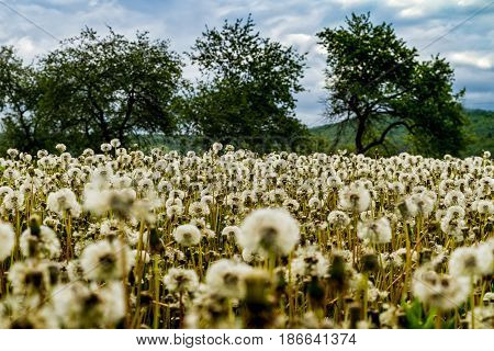 Bloated dandelions on a green meadow in a mountain valley.