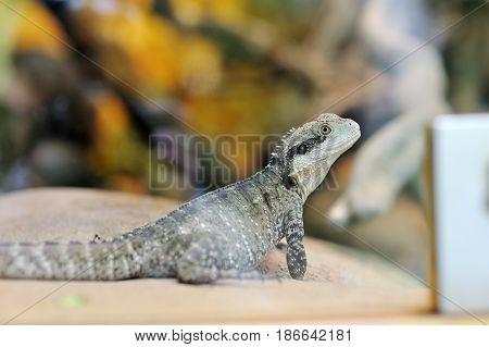 Little reptile iguana closeup on a rock