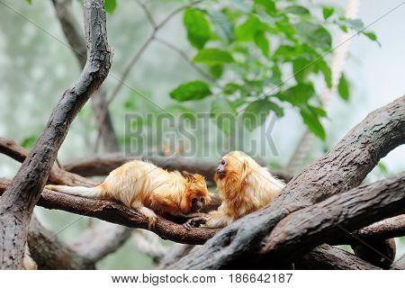 Golden lion tamarin leontopithecus rosalia on the branch of a tree
