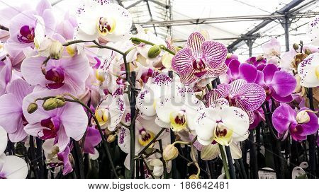 Colorful moth orchids in flower. Phal or Phalaenopsis orchids up close.