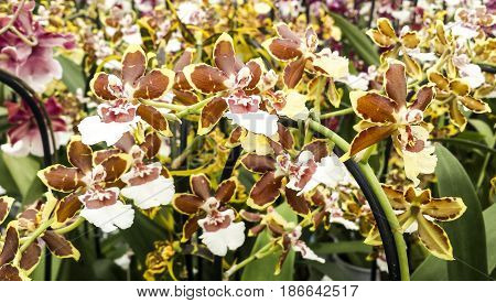 Beautiful orchid in flower. Oncidium hybrid. Cambria.