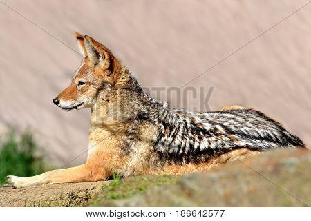 Black-backed jackal ( Canis mesomelas ), wildlife photo.