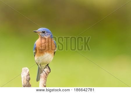 Beautiful male Eastern Bluebird (Sialia sialis) closeup perched with room for copy