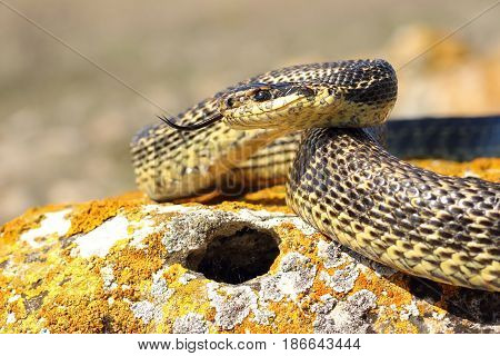 blotched snake ready to attack ( Elaphe sauromates basking on a rock )