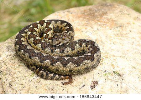 beautiful venomous european snake basking on lime stone the nose horned viper ( VIpera ammodytes )