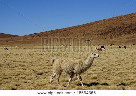 Llama's happily prancing through hillside fields with one in the foreground