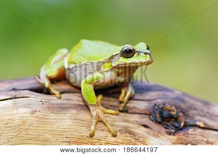 cute little green tree frog ( Hyla arborea ) standing on wooden stump