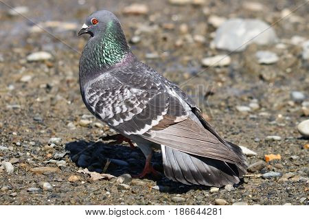 A male feral pigeon fanning out his tail feathers to impress a mate