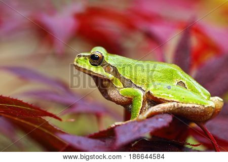 european green tree frog standing on leaves ( Hyla arborea )