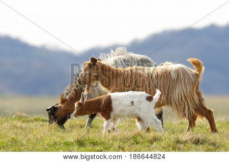 goat family walking on mountain meadow near the farm